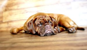 How much exercise do Bullmastiffs require