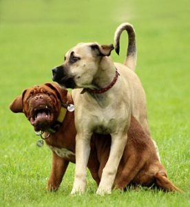 2 south african mastiffs