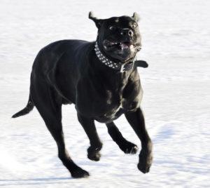 Black argentine mastiff