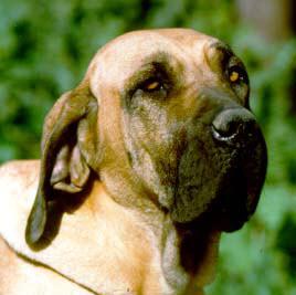 Brazilian Mastiff breed