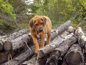 Brazilian mastiff on logs