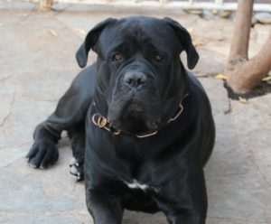 Italian Mastiff Breed