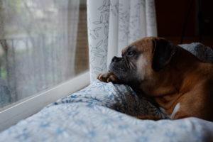 bored mastiff