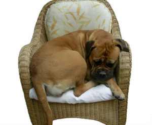 bullmastiff in chair