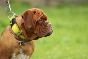 bullmastiff with training collar