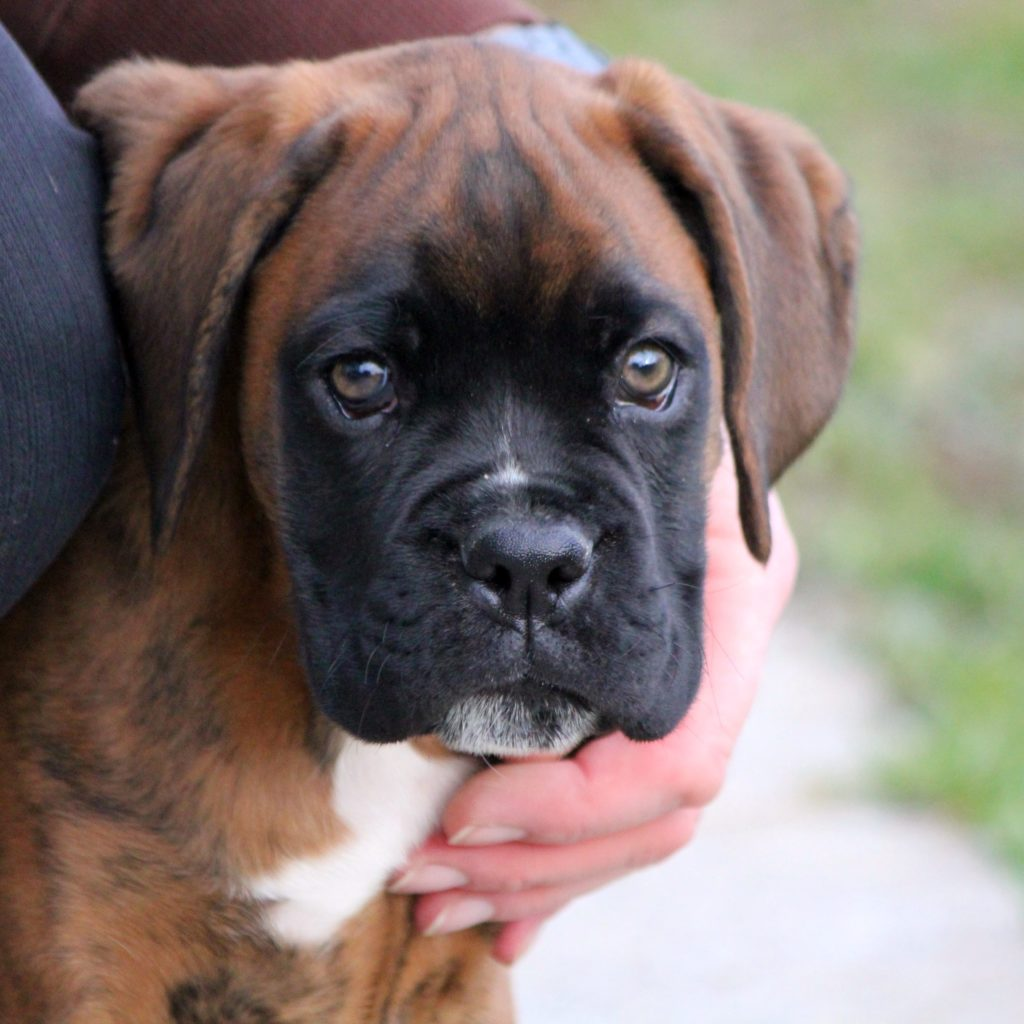 cute mastiff puppy