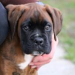 cute mastiff puppy