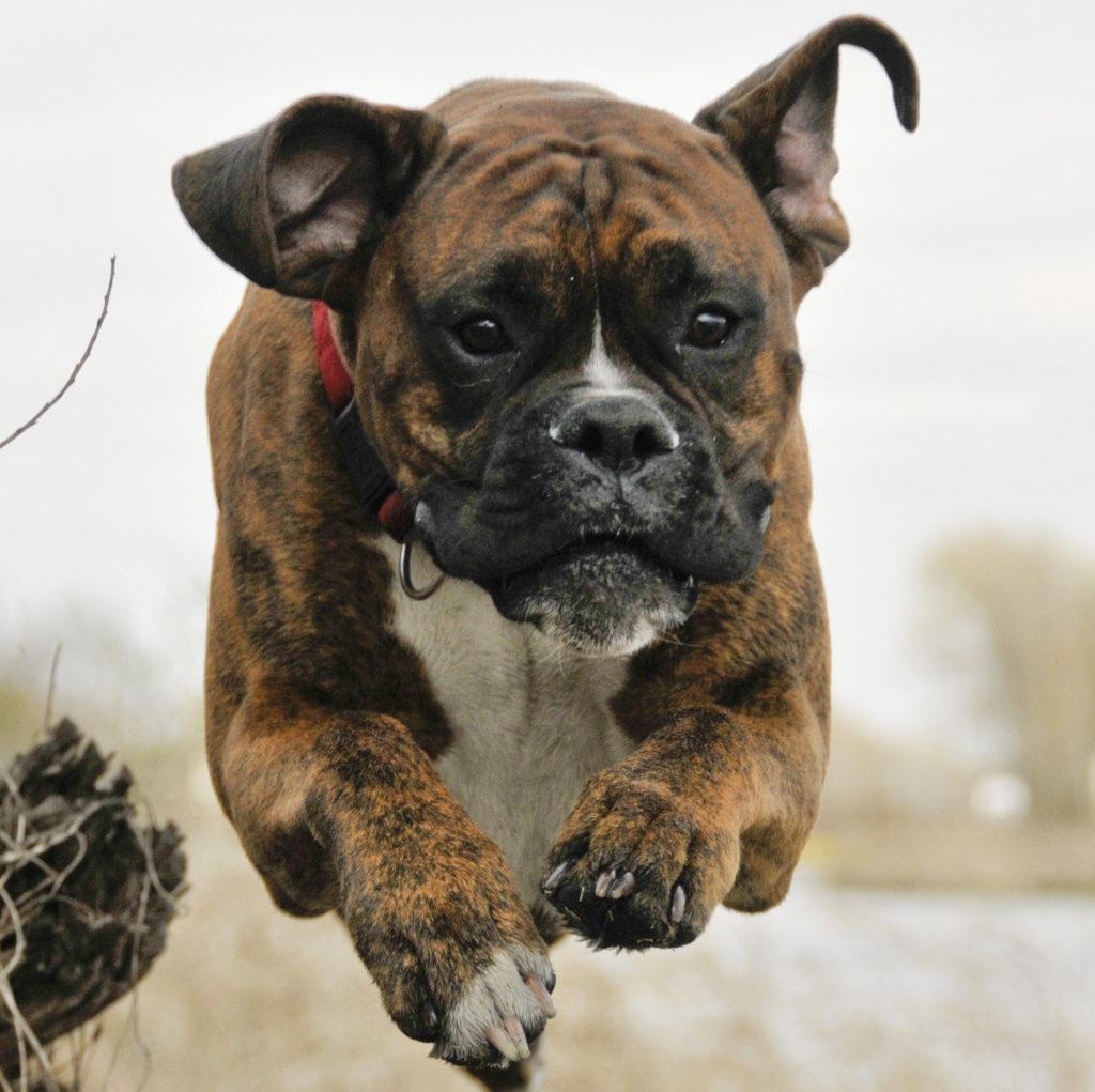 flying mastiff