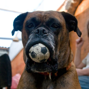 mastiffs will eat anything