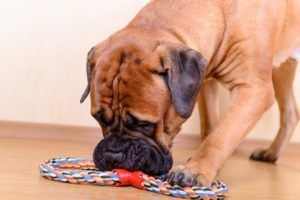 mastiff with toy rope
