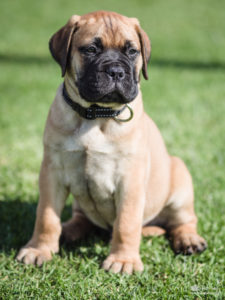 bullmastiff puppy watch