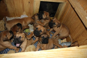 lots of mastiff puppies