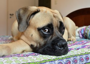 mastiff puppy dog