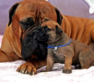 mastiff with puppy