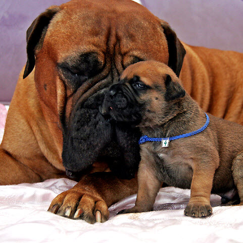 mastiff with puppy aww
