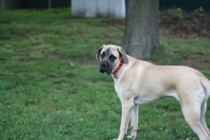 American mastiff outside