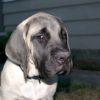 American Mastiff grumpy