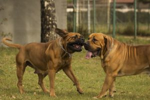 happy mastiffs