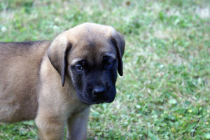 sad puppy eyes mastiff