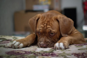 sleepy mastiff puppy
