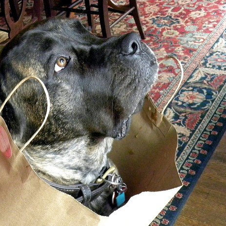 Brindle in a bag square