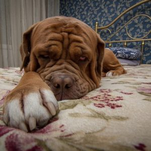 Mastiff bed square