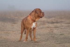 Mastiff desert