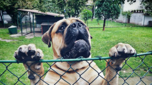 mastiff kennel