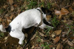 jack russel digging
