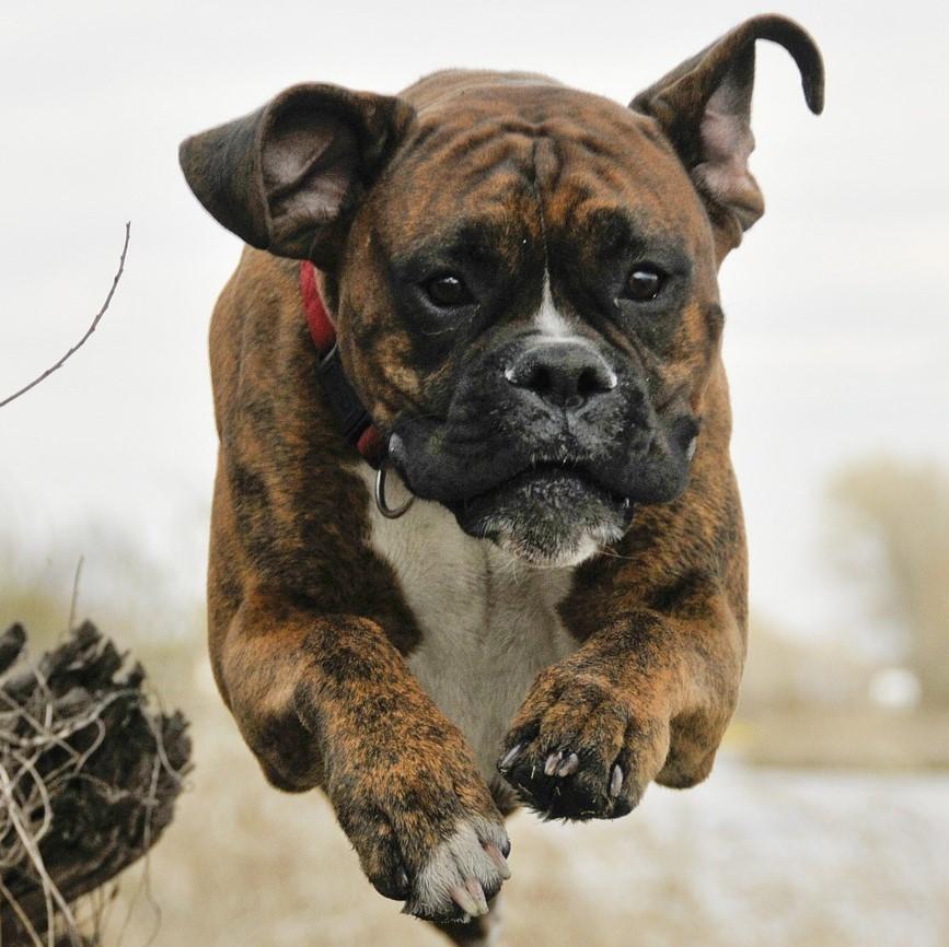 mastiff jumping