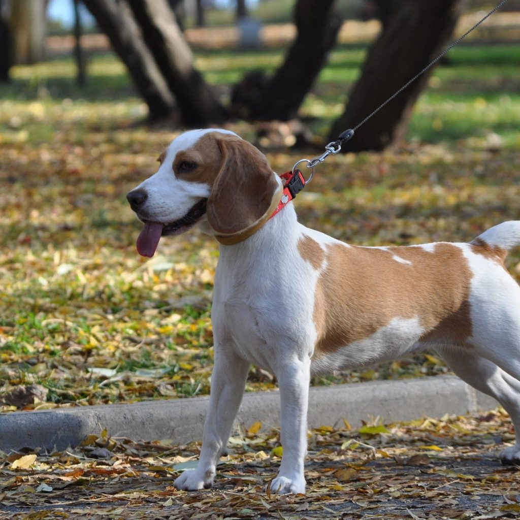 square beagle