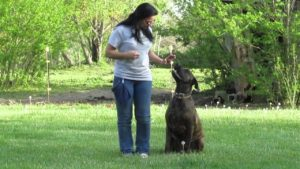 English Mastiff lesson