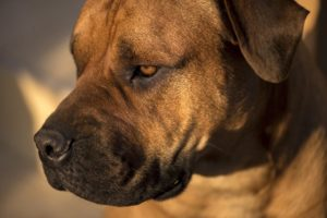 Mastiff Dog Breed Health