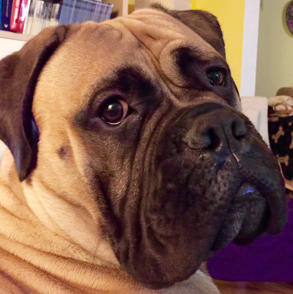 7 Types Of Mastiff Dog Summarized